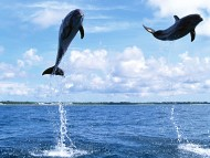 Dolphins / Animals