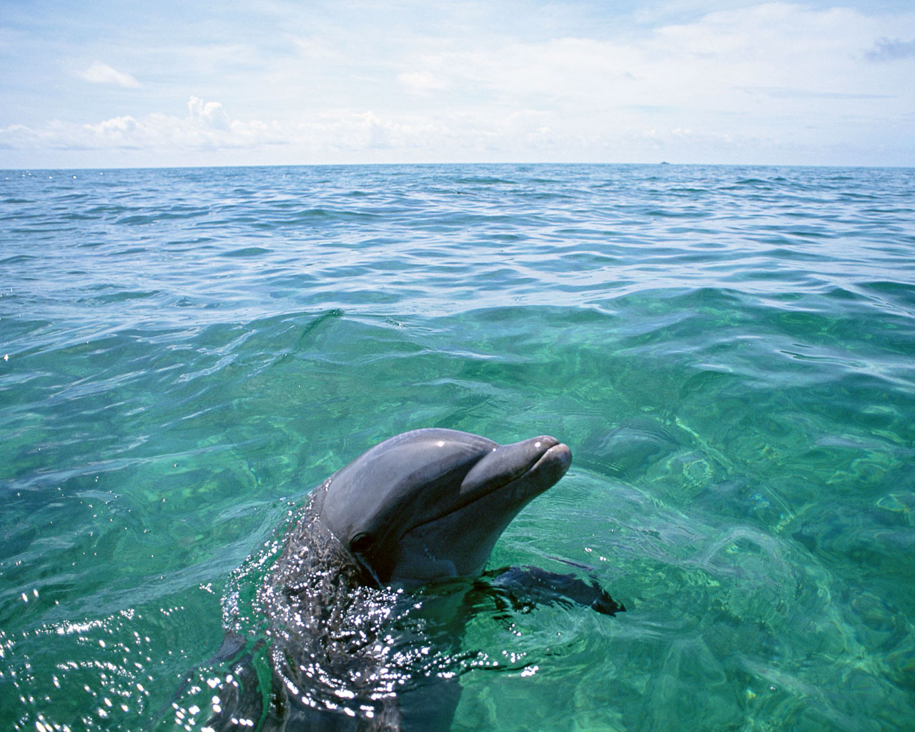 Download full size Dolphins wallpaper / Animals / 1280x1024