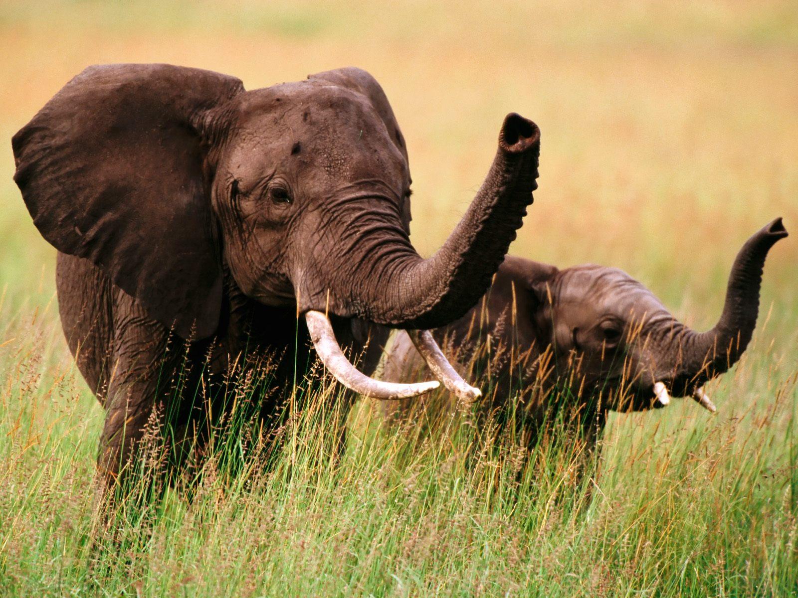 Download HQ Elephants wallpaper / Animals / 1600x1200