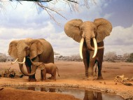 Download Elephants / Animals
