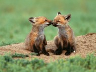 Foxes / Animals