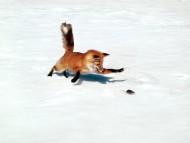 Foxes / Animals