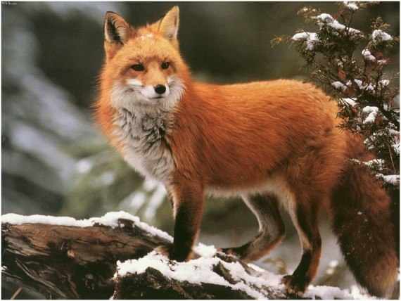 Free Send to Mobile Phone Foxes Animals wallpaper num.268