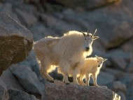 Download Mommy and Kid, Mountain Goats / Goats