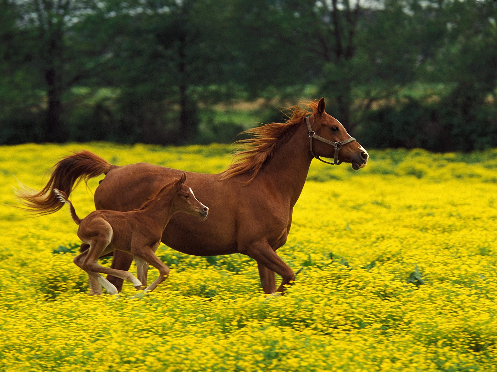 fire Horses Wallpaper Stallions Backgrounds Animals Backgrounds