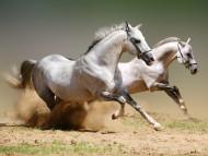 white / Horses