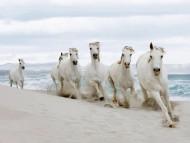 white horses / Horses