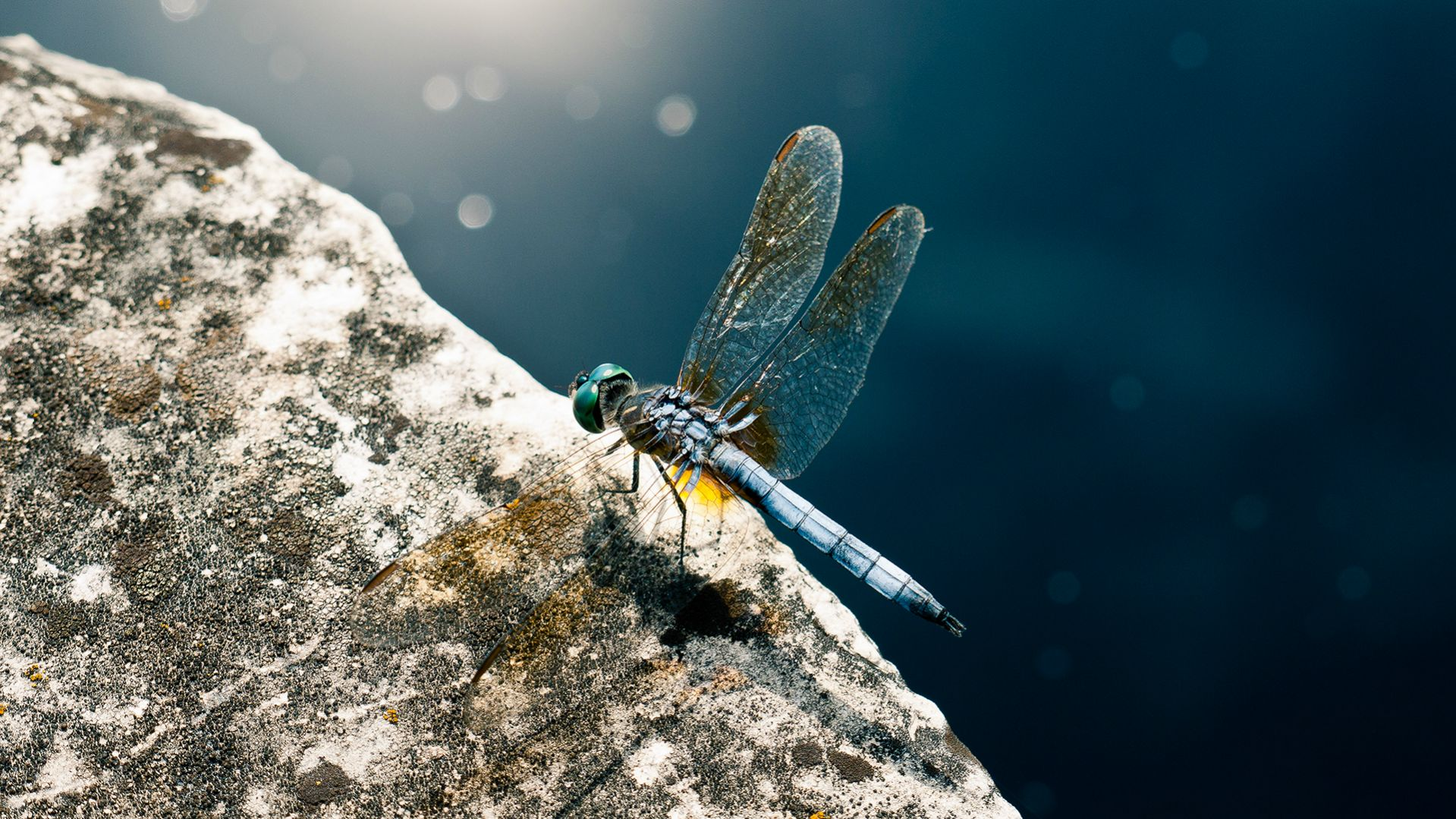 Download High quality dragonfly pauses Insects wallpaper / 1919x1079