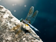 Download dragonfly pauses / Insects
