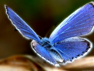 butterfly blue / Insects