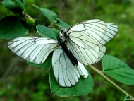 Download butterfly white / Insects