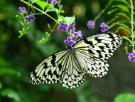 butterfly white / Insects