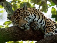 Sleeping / Jaguars