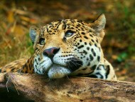 Dreaming predator / Jaguars