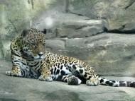Resting / Jaguars