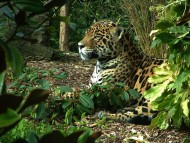 In woods / Jaguars