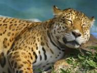 Sleeping / Jaguars
