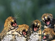 Five yawning predator / Jaguars