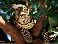 Download Hunt / Leopards and Cheetahs