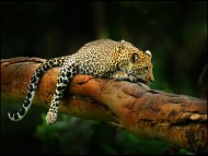 Rest / Leopards and Cheetahs
