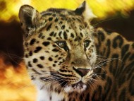 Grief\'s animal / Leopards and Cheetahs