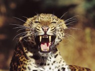 Fangs / Leopards and Cheetahs