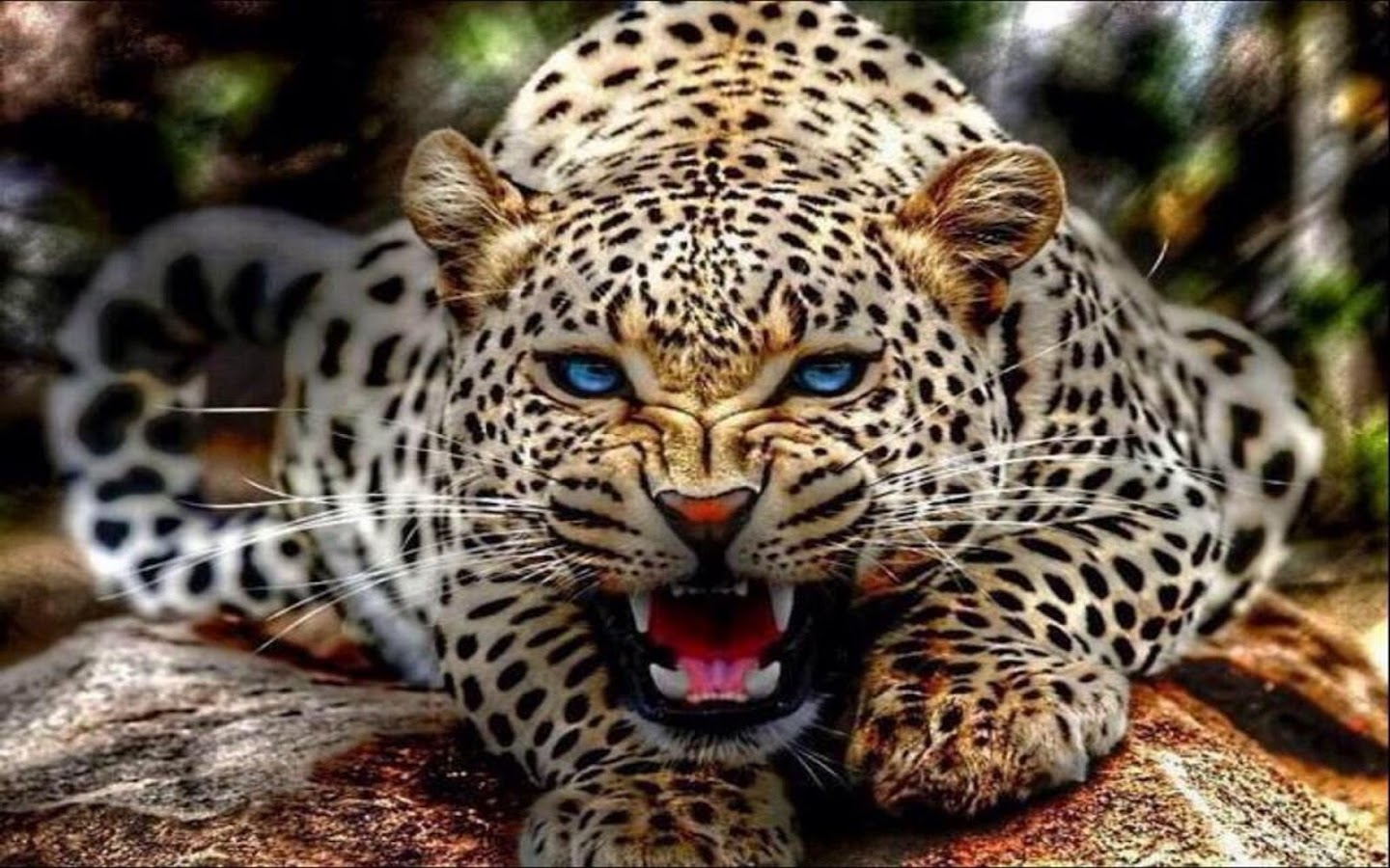 Download full size leopard Leopards and Cheetahs wallpaper / 1440x900