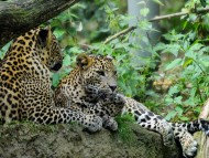 Couple / Leopards and Cheetahs