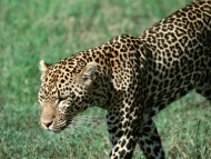 Leopards and Cheetahs / Animals