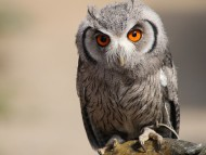 An owl in Luneburger Heide park Germany / Owl