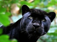 Hunting / Panthers