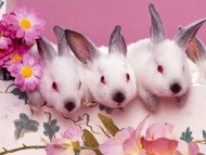 Download Rabbits / Animals