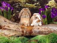Download Rabbits / Animals