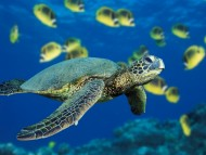Green Sea Turtle / Reptiles