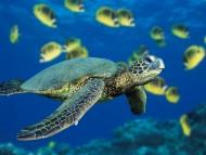 Green Sea Turtle / Reptiles