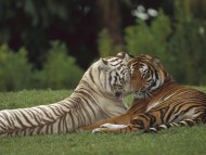 female male / Tigers