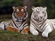 twins / Tigers