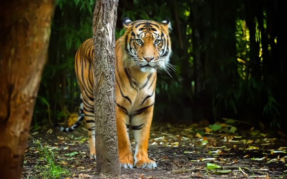 Free Send to Mobile Phone tiger Tigers wallpaper num.393