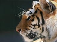 muzzle / Tigers