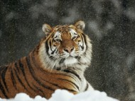 Download snow / Tigers