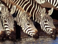Zebras / HQ Animals