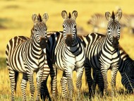 Zebras / Animals