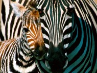 Download Zebras / Animals