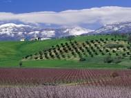 Vine / Italy