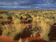 Spinifex Grass, Little Sandy Desert, Australia / Deserts