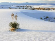 Soaptree Yucca Growing in Gypsum Sand, White Sands National Monument, New Mexico / Deserts