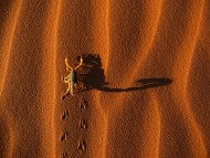 Shadow Casting Scorpion, Namib Naukluft National Park, Namibia / Deserts