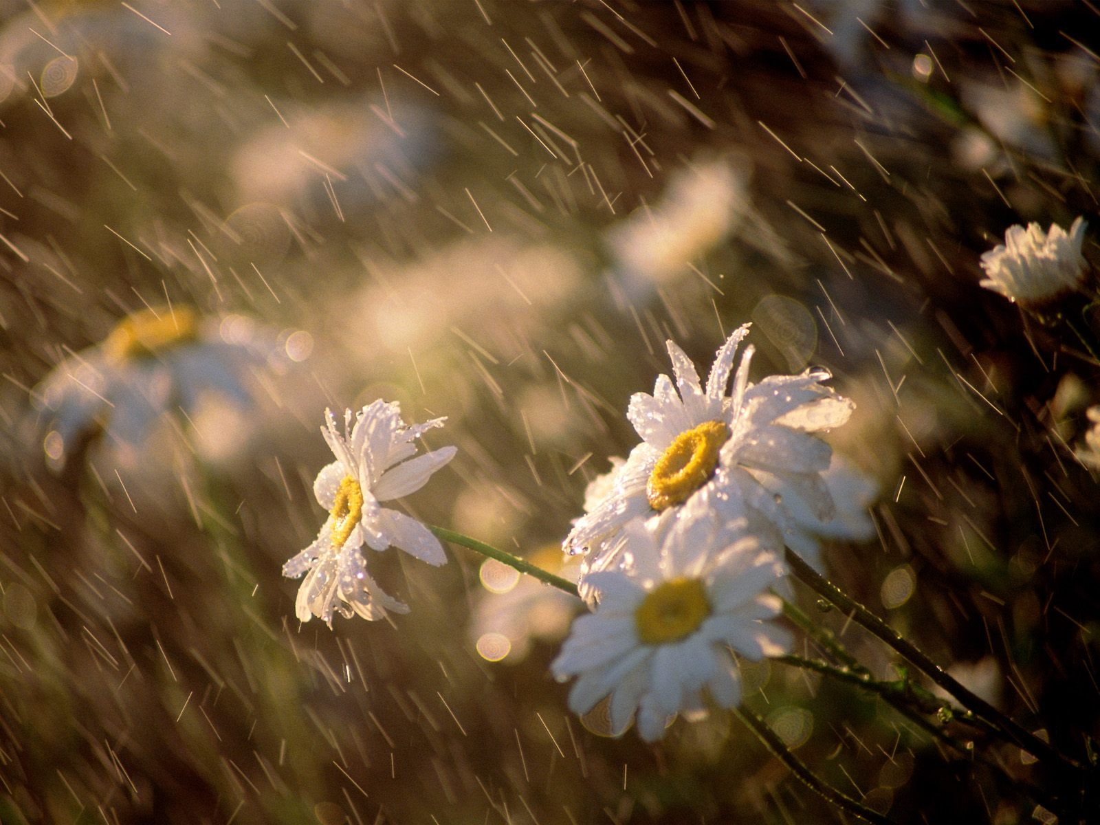 Download full size Wet Daisies Flowers wallpaper / 1600x1200