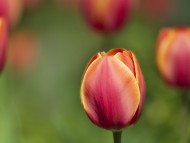 Download tulips / Flowers
