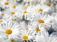 Plentiful Oxeye Daisies / Flowers